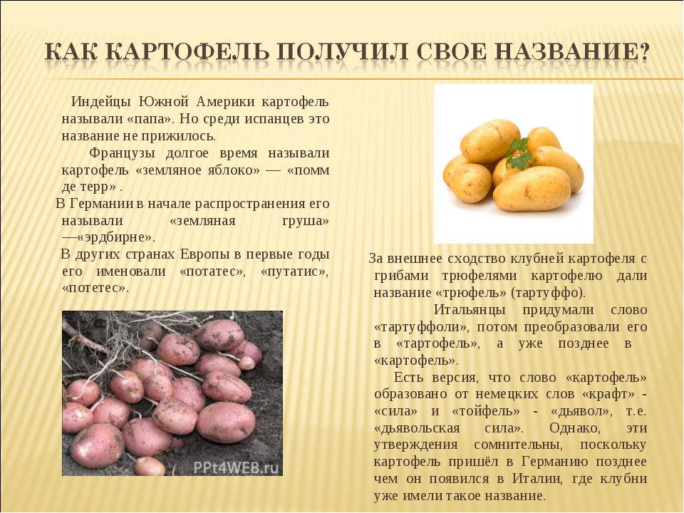 Индейцы Южной Америки картофель называли «папа». Но среди испанцев это назва...