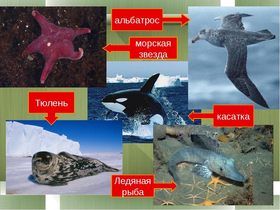 касатка Ледяная рыба Тюлень альбатрос морская звезда