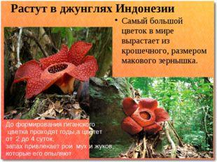 Растут в джунглях Индонезии Самый большой цветок в мире вырастает из крошечно