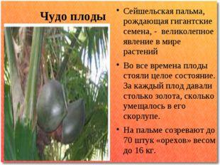 Чудо плоды Сейшельская пальма, рождающая гигантские семена, - великолепное яв