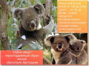 Коалы ведут малоподвижный образ жизни, обитатели Австралии Взрослый коала вес