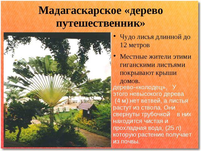 Мадагаскарское «дерево путешественник» Чудо лисья длинной до 12 метров Местны...