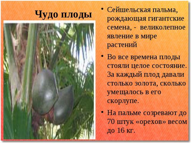 Чудо плоды Сейшельская пальма, рождающая гигантские семена, - великолепное яв...