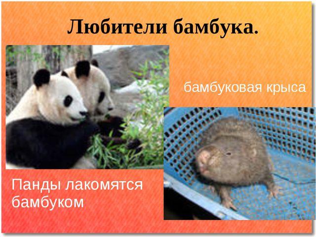 Любители бамбука. Панды лакомятся бамбуком бамбуковая крыса