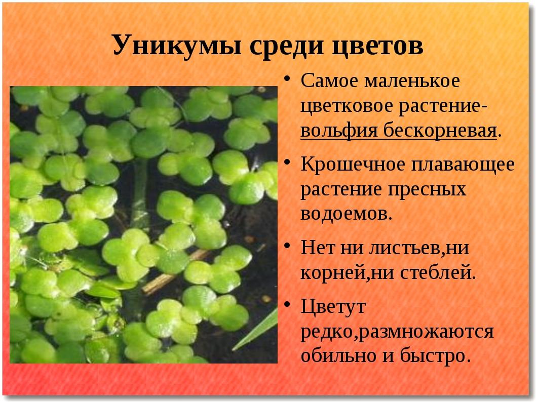Уникумы среди цветов Самое маленькое цветковое растение-вольфия бескорневая....