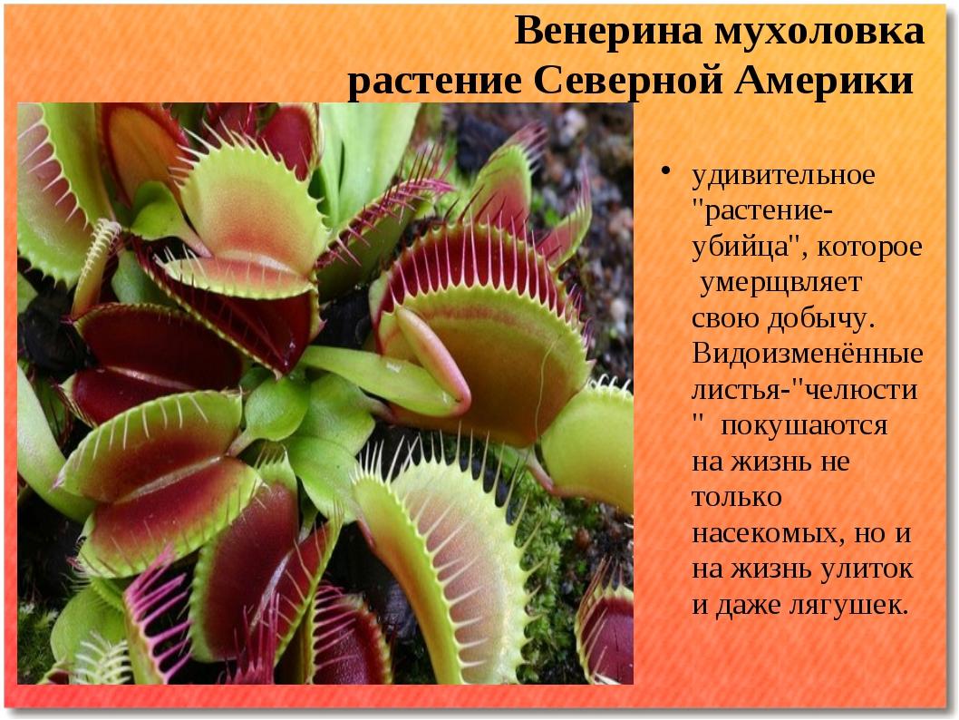 """Венерина мухоловка растение Северной Америки удивительное """"растение-убийца"""",..."""