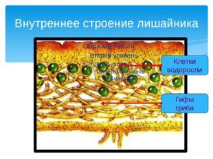 Внутреннее строение лишайника Клетки водоросли Гифы гриба