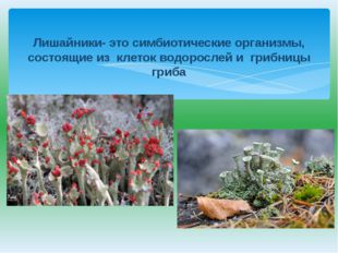 Лишайники- это симбиотические организмы, состоящие из клеток водорослей и гр