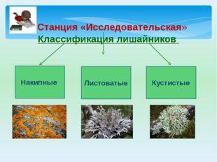 Классификация лишайников Накипные Кустистые Листоватые Станция «Исследователь