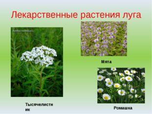 Лекарственные растения луга Тысячелистник Мята Ромашка