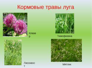Кормовые травы луга Тимофеевка Мятлик Клевер Лисохвост