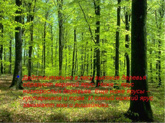 Действительно в лесу высокие деревья образуют верхний ярус. Ниже – ярус низко...