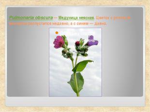 Pulmonaria obscura — Медуница неясная. Цветок с розовым венчиком распустился