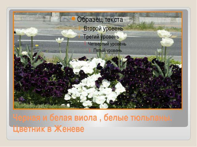 Черная и белая виола , белые тюльпаны. Цветник в Женеве