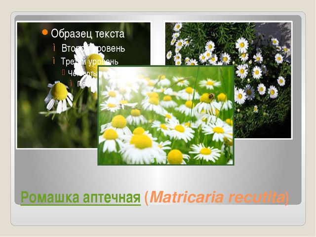 Ромашка аптечная (Matricaria recutita)