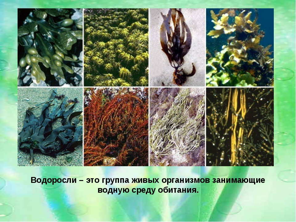 Водоросли – это группа живых организмов занимающие водную среду обитания.