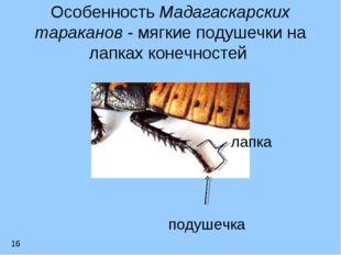 Особенность Мадагаскарских тараканов - мягкие подушечки на лапках конечностей