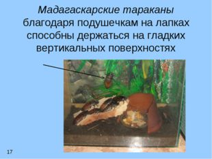 Мадагаскарские тараканы благодаря подушечкам на лапках способны держаться на