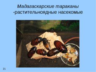 Мадагаскарские тараканы -растительноядные насекомые 21