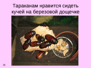 Тараканам нравится сидеть кучей на березовой дощечке 25