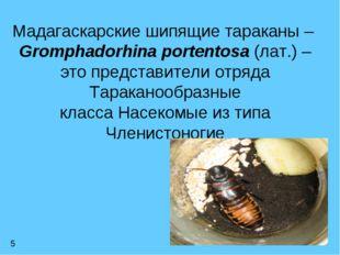 Мадагаскарские шипящие тараканы – Gromphadorhina portentosa (лат.) – это пре