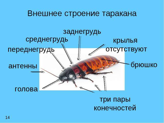 Внешнее строение таракана голова переднегрудь среднегрудь заднегрудь брюшко а...