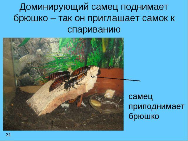 Доминирующий самец поднимает брюшко – так он приглашает самок к спариванию са...