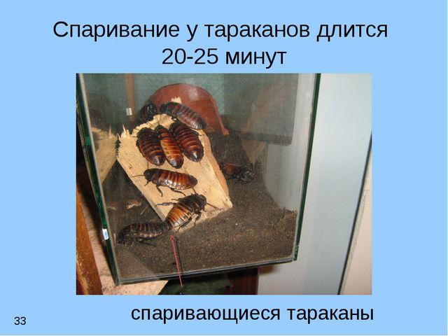 Спаривание у тараканов длится 20-25 минут спаривающиеся тараканы 33