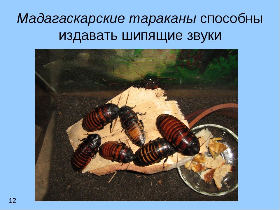 Мадагаскарские тараканы способны издавать шипящие звуки 12