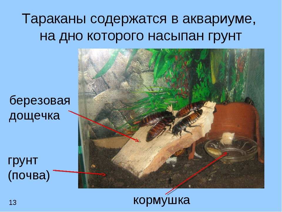 Тараканы содержатся в аквариуме, на дно которого насыпан грунт грунт (почва)...