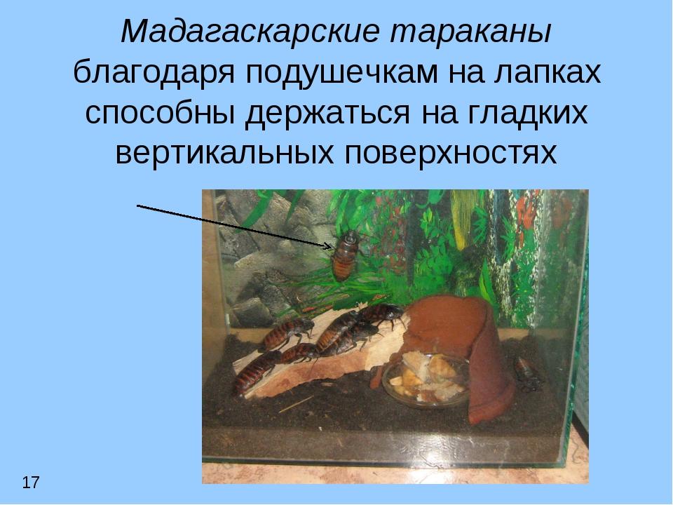 Мадагаскарские тараканы благодаря подушечкам на лапках способны держаться на...