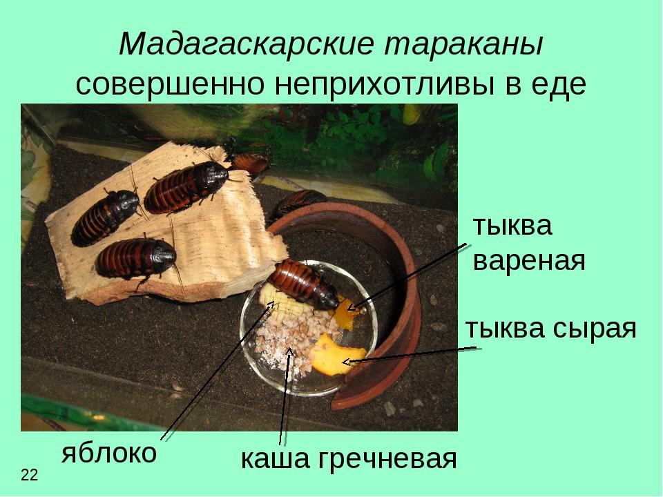 Мадагаскарские тараканы совершенно неприхотливы в еде тыква вареная тыква сыр...