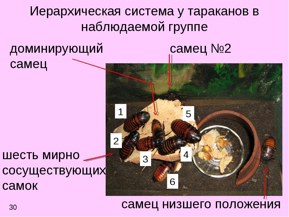 Иерархическая система у тараканов в наблюдаемой группе самец №2 доминирующий...