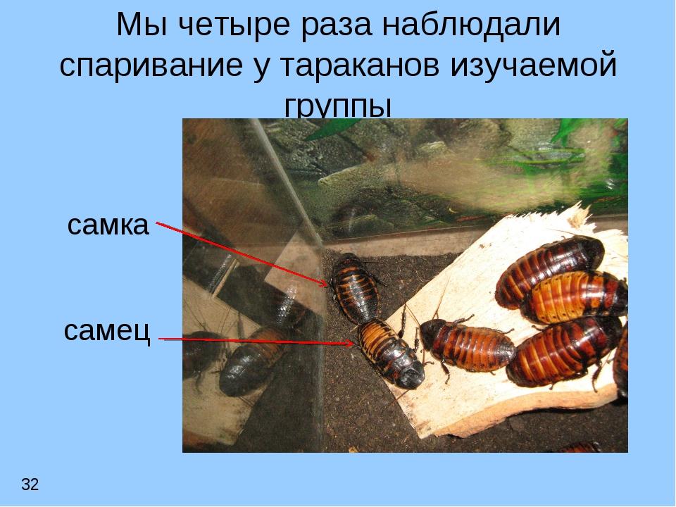 Мы четыре раза наблюдали спаривание у тараканов изучаемой группы самка самец 32