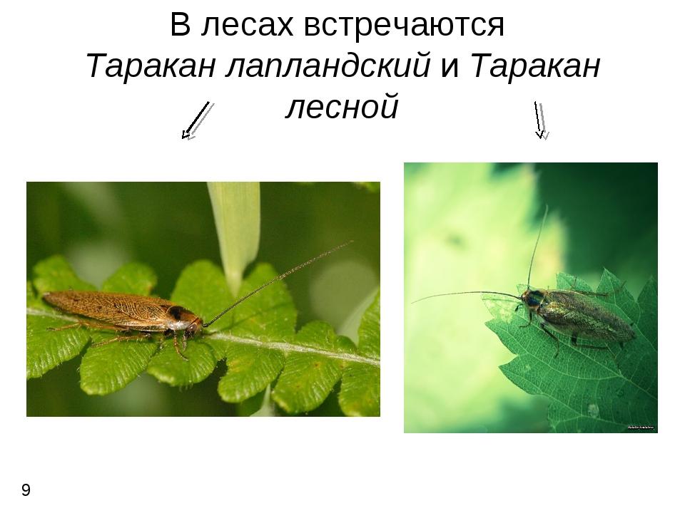 В лесах встречаются Таракан лапландский и Таракан лесной 9