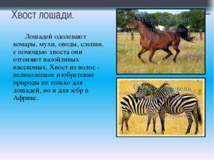 Хвост лошади. Лошадей одолевают комары, мухи, оводы, слепни, с помощью хвоста