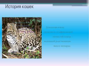 История кошек Домашняя кошка произошла от африканской пятнистой кошки – мален