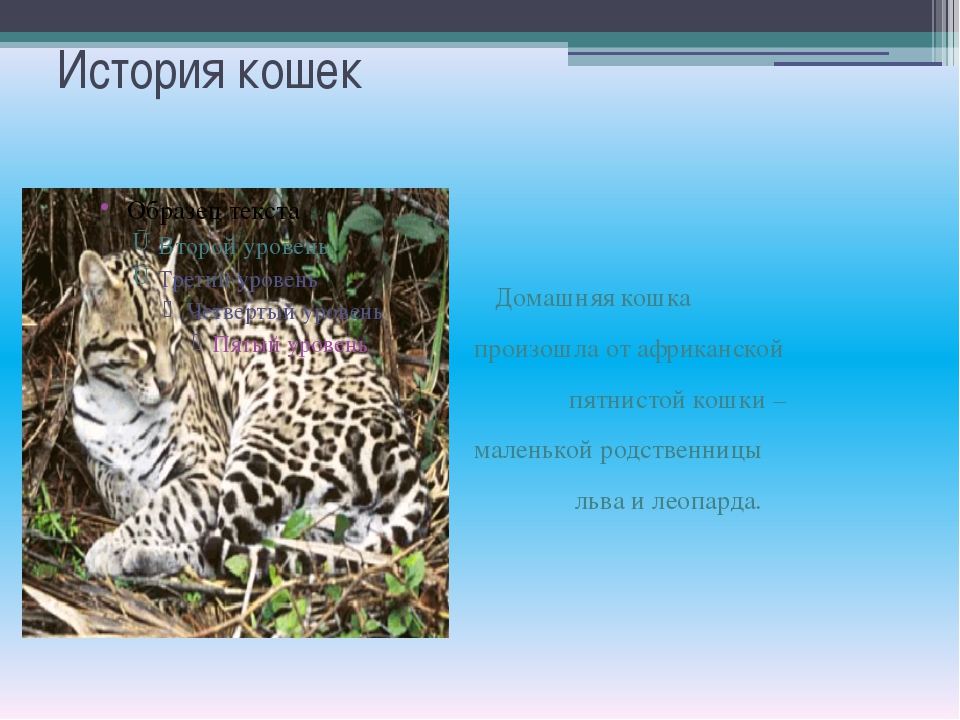 История кошек Домашняя кошка произошла от африканской пятнистой кошки – мален...