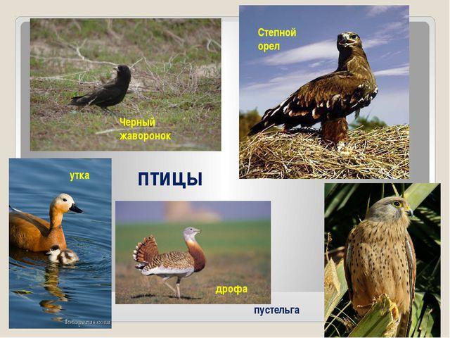 Степной орел утка Черный жаворонок дрофа птицы пустельга