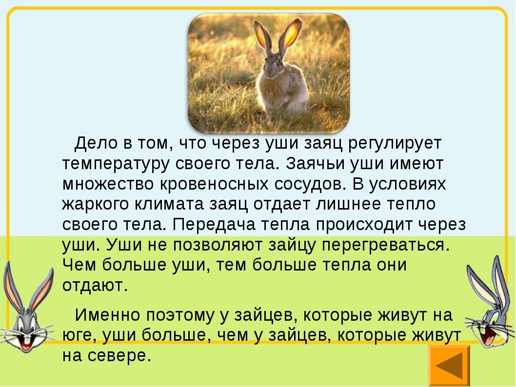 Дело в том, что через уши заяц регулирует температуру своего тела. Заячьи уш...