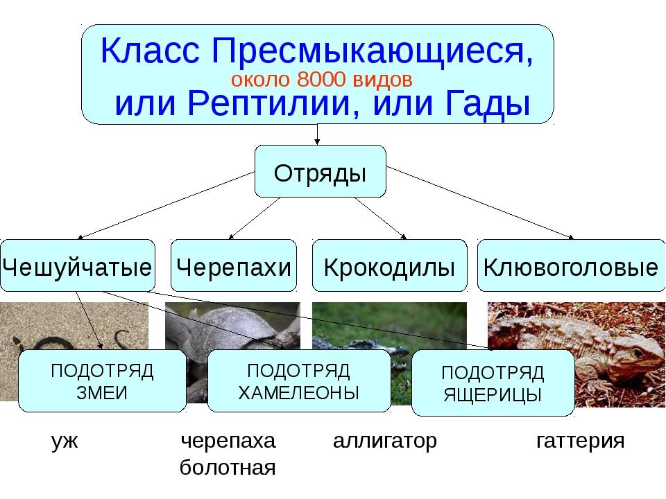 Класс Пресмыкающиеся, или Рептилии, или Гады около 8000 видов Чешуйчатые Чере...