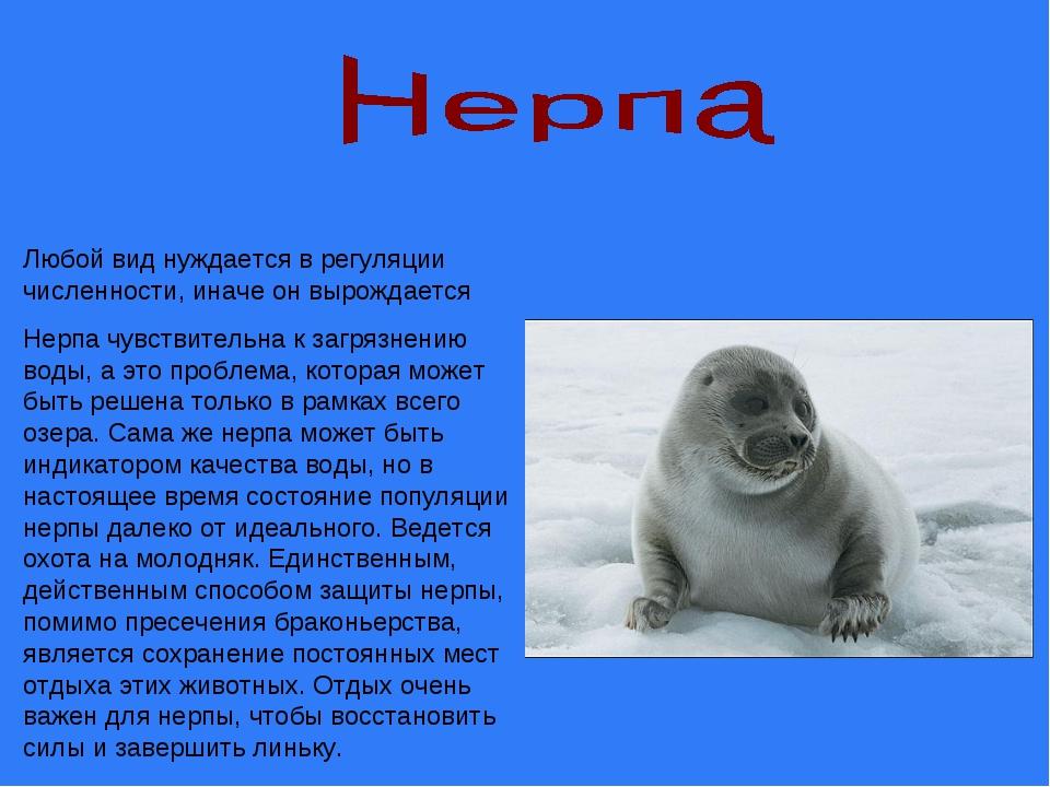 Любой вид нуждается в регуляции численности, иначе он вырождается Нерпа чувст...