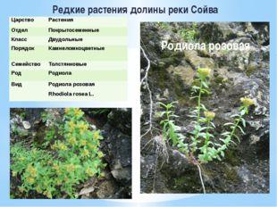 Редкие растения долины реки Сойва Родиола розовая Царство Растения Отдел Покр