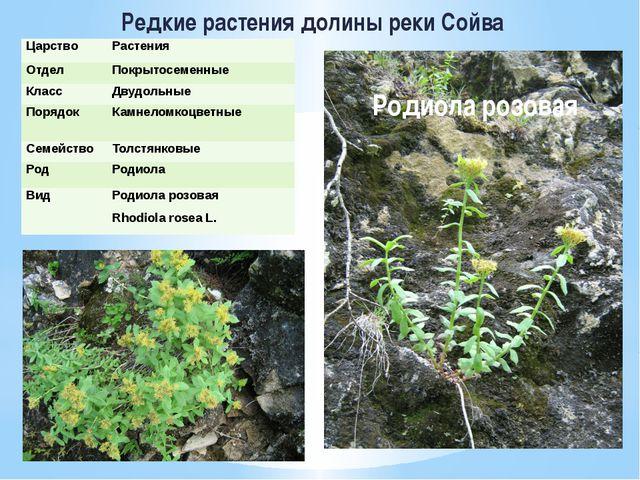 Редкие растения долины реки Сойва Родиола розовая Царство Растения Отдел Покр...