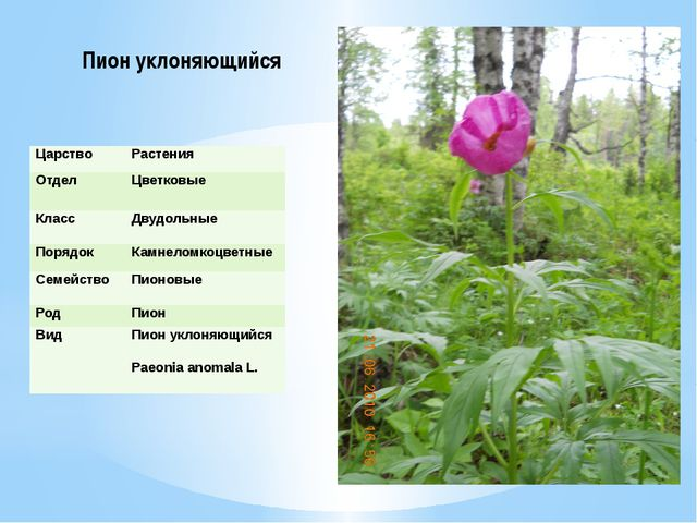 Пион уклоняющийся Царство Растения Отдел Цветковые Класс Двудольные Порядок К...