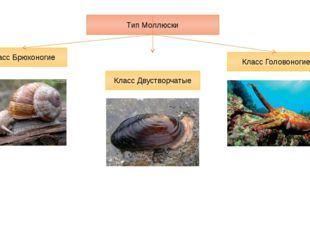 Тип Моллюски Класс Брюхоногие Класс Двустворчатые Класс Головоногие