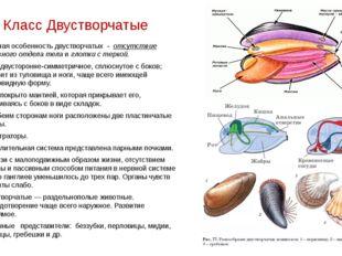 Класс Двустворчатые Главная особенность двустворчатых - отсутствие головного