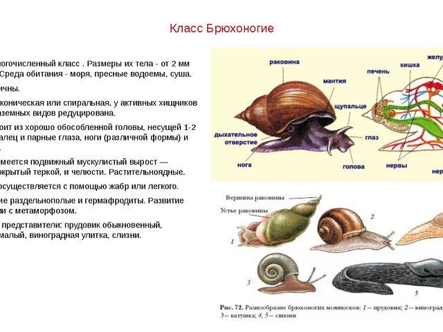 Класс Брюхоногие Самый многочисленный класс . Размеры их тела - от 2 мм до 60...