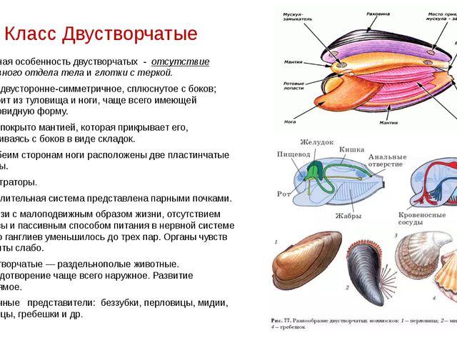 Класс Двустворчатые Главная особенность двустворчатых - отсутствие головного...
