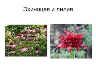 Эхиноцея и лилия